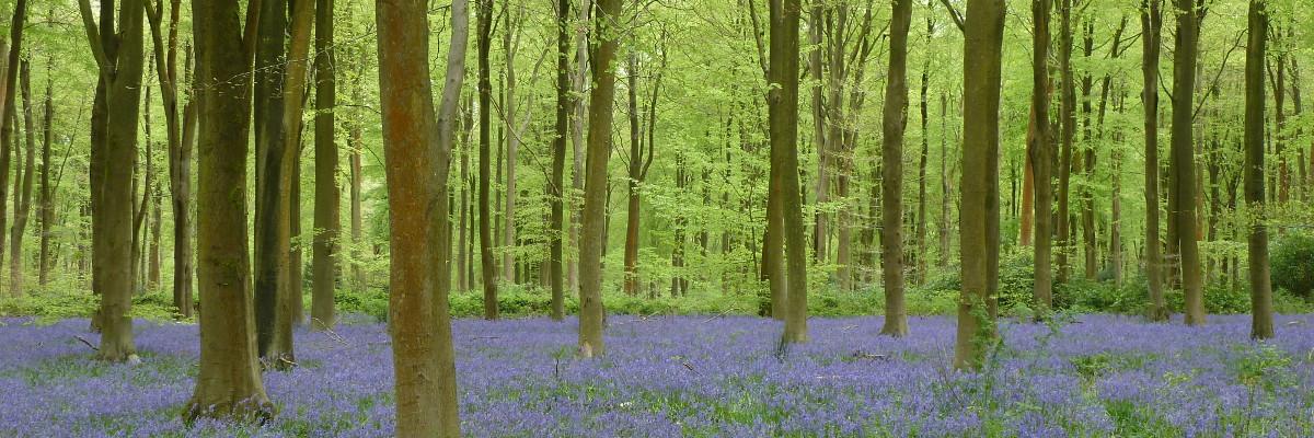 West Wood Bluebells Marlborough